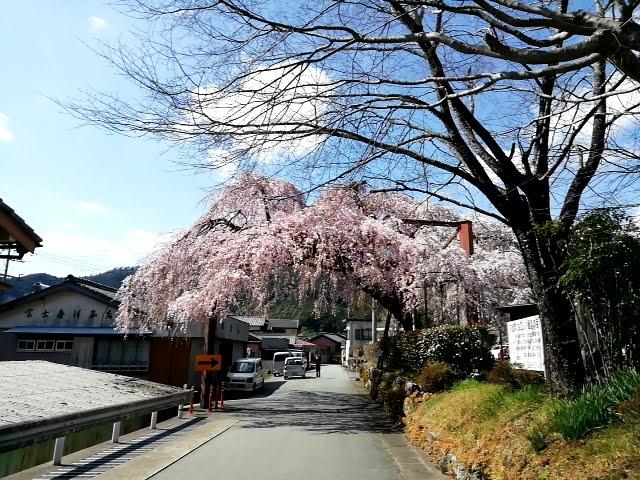 大紀町の枝垂れ桜のトンネル