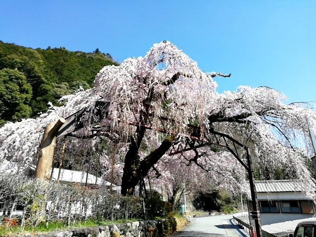大紀町役場のしだれ桜